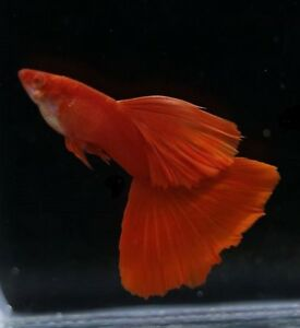GUPPY FISH ALBINO FULL RED 1 PAIR (MALE+FEMALE)