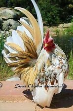 Serama Show Quality Size A Hatching Eggs 12+ Smallest Chicken Worldwide! Npip