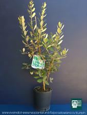 FEIJOA  SELLOWIANA INNESTO TRIUMPH MAMMOTH V18  Feijoa pianta plant