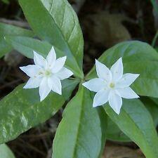 Starflower ...... 30 Seeds