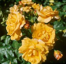 'Postillion' -R-, Strauchrose im 4-Liter-Topf, ADR-Rose