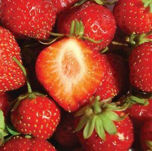 25 seeds Strawberry Mara Des Bois ORGANIC Bio Gourmet De French Super Sweet UKEU