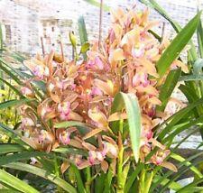 Orchid Cymbidium Shiba Gege