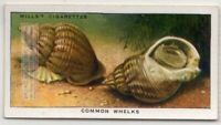 Edible Common Whelk Shell Seafood Marine Ocean c80 Y/O Ad Trade Card