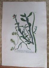 """Vintage Engraving,ESULA FRUITICOSA,C.1740,WEINMANN,Botanical,20x13.5"""",Mezzotint"""