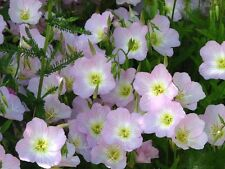 1000 SHOWY PINK EVENING PRIMROSE Oenothera Seeds CombSH