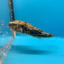 """Freshwater mbu puffer 3.5"""" in length live tropical fish"""