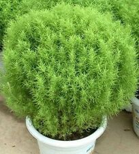 Grass Seed - KOCHIA Flower Seed - Bassia scoparia - Firebrush - Pack of 30 Seeds