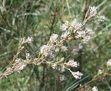 Grevillea endlicheriana in 50mm forestry tube Native plant