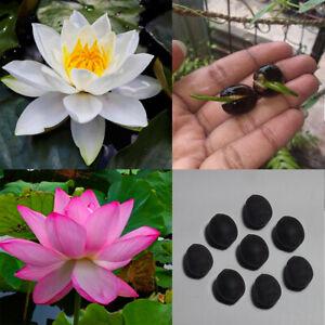 10 Blue Lotus Seeds Nelumbo Nucifera Pond Aquarium Flower Water Plant Fragrant