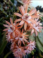 Hildewintera Alpha / rare plant