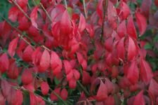 BURNING BUSH  PLANTS LIVE PLANT 8 to 12 inches