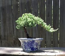 Free shipping for Juniper Pro Nana Bonsai Tree 6 inch Blue/white decorative pot