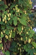 Humulus lupulus SAAZ HOPS Vine Seeds!