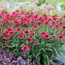 Echinacea purpurea Extract Capsules - Powerful Immune Support - 50x Caps.