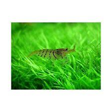 6x Tiger Shrimps ( 2cm )