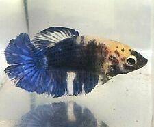 New listing Betta Black & Blue Piebald Rose Tail Halfmoon Marble Hm Juvenile Female Af21