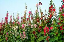 Hollyhock Double 20 Seeds, Mixed colours