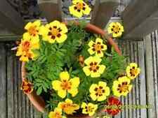 DAINTY MARIETTA FRENCH MARIGOLD  Flower Seeds (Pack of 10 seeds) F-005