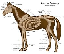 Painting Horse Anatomy Illustration Large Wall Art Print Poster Picture Lf2474