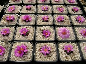 10 Fresh seeds, Ariocarpus kotschoubeyanus, samen 種子 เมล็ดพันธุ์ Rare Cactus