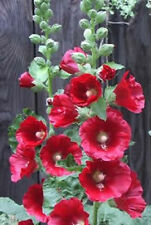 50 HOLLYHOCK COUNTRY ROMANCE MIX Alcea Rosea Flower Seeds + Gift & Comb S/H