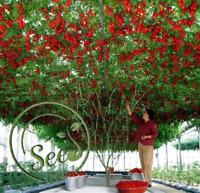 50 Pcs New Rare Seeds Sweet Huge Tree Giant Tomato Fruit Vegetable Home Garden