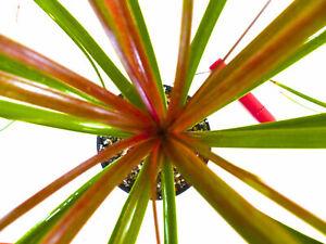 Beaucarnea Recurvata Rouge-Vert Form Caudex Bonsai Dioscorea Baobab ariocarpus
