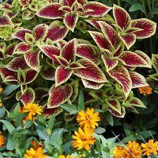 Garden Flower 50 Coleus Seeds Coleus Blumei