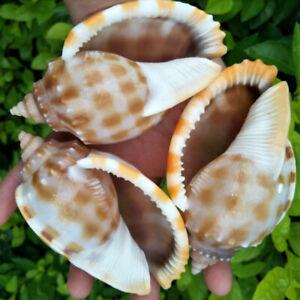 grandes et belles naturelles rares conque aquarium décoration sea shell