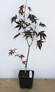 """Japanese  red maple ' Fireglow ' 5"""" pot  pre bonsai tree"""