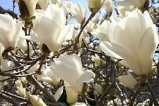 Rare White Yulan Magnolia Tree Seeds Fragrant Ornamental Flower Home Gardening