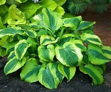 1 Afterglow Hosta Plant - Gallon Size Perennial