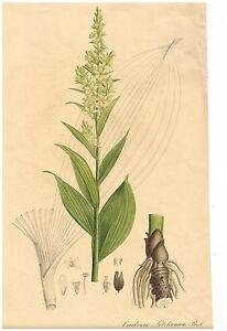 "Brandt & Ratzeburg Flowers - ""VERATRUM LOBELIANUM"" - Large H-Col Litho - 1838"