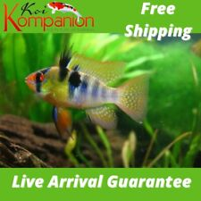 3/5/10X German Blue Ram Cichlid Neotropical Koi Kompanion Free Shipping