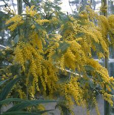 Acacia baileyana evergreen shrub in 9cm pot Cootamundra Wattle