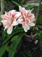"Dble Hippeastrum  ""kathleene "" - Red  White -  15Mth Offset Bulb Showy"