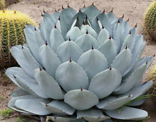 "7"" Diam Agave Parryi Var Truncata? Striking""Artichoke&# 034; Agave Succulent"