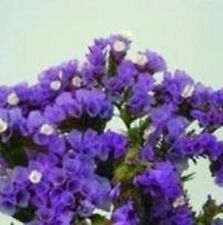 Statice - Sunburst Series - Lavender - 50 Seeds