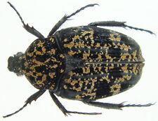 Insect - Pseudinca sp.(?) - Tanzania - 15mm+ .!