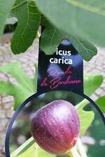 80 - 100 cm Ficus Ronde de Bordeaux Feigenbaum Feige
