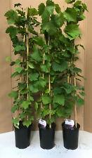 1X 3-4FT LARGE BLACK GRAPE VINE FRUIT PLANT - VITIS BOSKOOP GLORY - 3L
