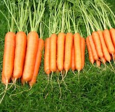 Kings Seeds - Carrot Sweet Candle F1 - 300 Seeds