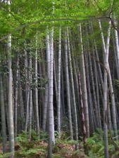 Phyllostachys edulis - Moso Bamboo - 10 Fresh Seeds