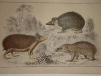 C1850 Cuvier Goldsmith Estampado Hedgehog Tenree & Tendrac