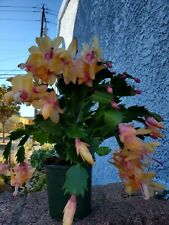 3 yellow unrooted thanksgiving cactus cuttings