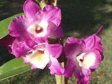 "DO42 - Softcane Dendrobium - ""Bright Pink"" - In 60mm pot"