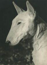 Bull Terrier Dog Profile Vintage 60 year-old Full Page Photo Print