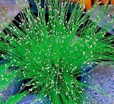 scirpus cernuus  plante  bassin aquarium facile