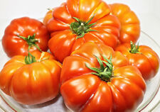 0.1 gram Brandywine tomato. OG/OP, Large 1 lb or more meaty pink fruits, No-till